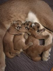 Савана,  каракалът и котките на Serval са на разположение