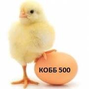 Яйцо инкубационное бройлера несушек и других пород птицы